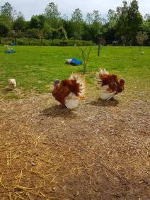The old lady turkeys
